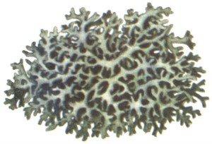 Лишайник пармелия блуждающая