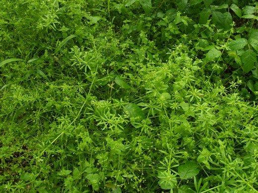 сорняк мокрыжник фото