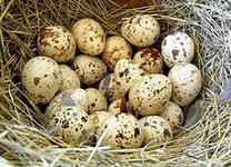Лечение  перепелиными  яйцами