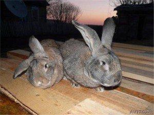 Лечение с помощью кроликов