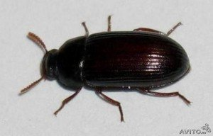 Инсектотерапия —  лечение  жуками — знахарями