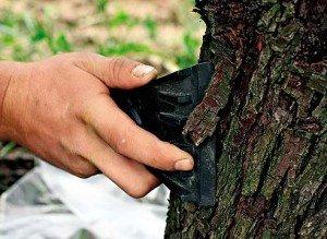 Лечение  корой  деревьев