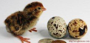 Лечение перпелиными яйцами. Часть2