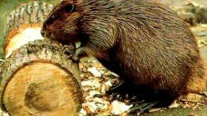 Лечение бобровой струей и медвежьей желчью
