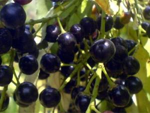 ягоды черемухи