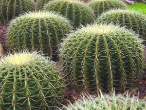 Народное лечение кактусом