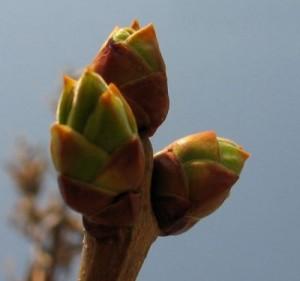 Лечение почками деревьев